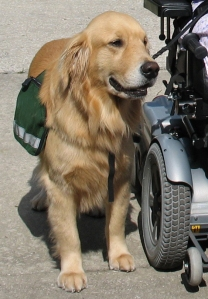 Service dogs are now being trained to assist dementia patients.